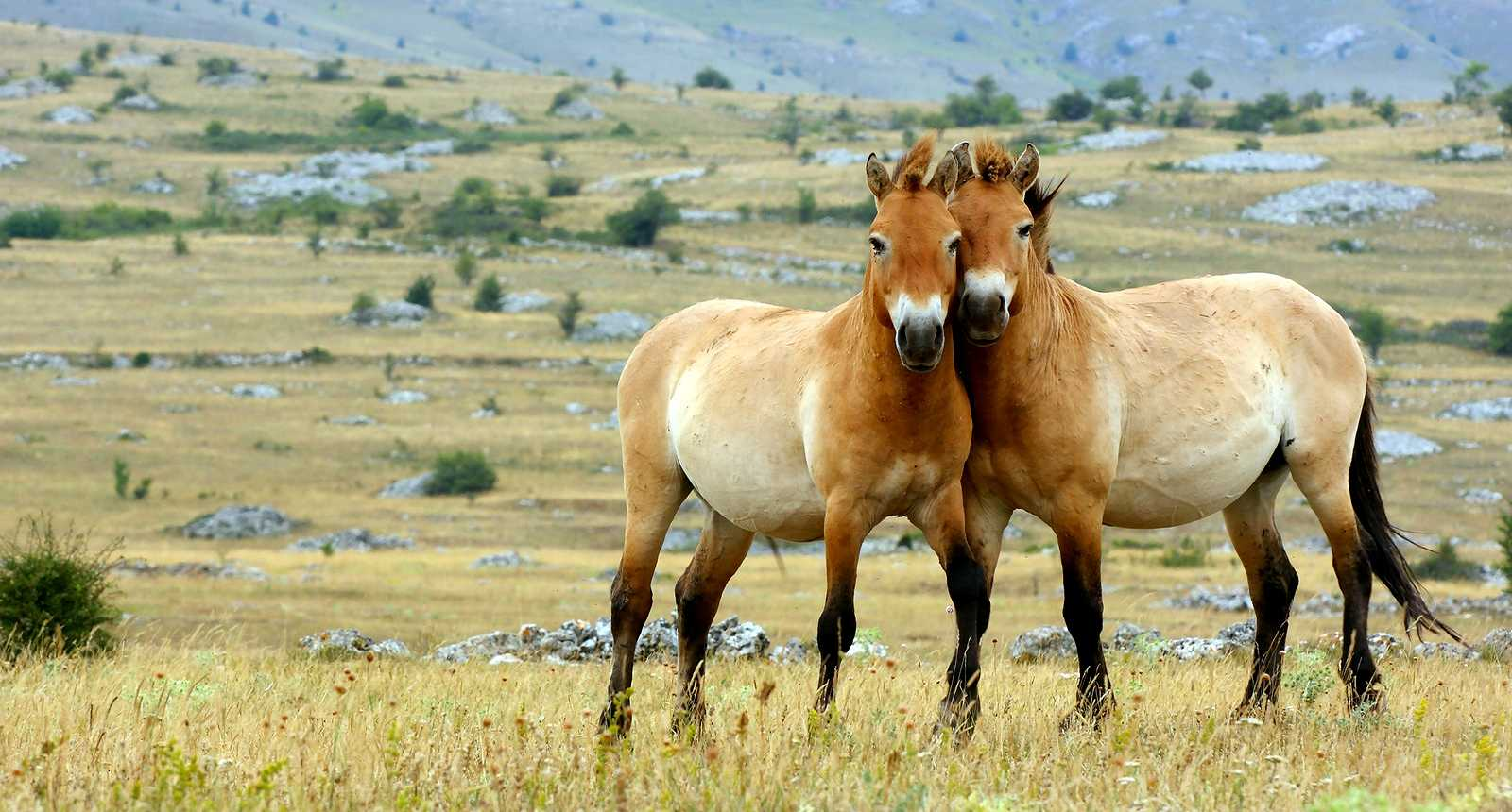 Le cheval de przewalski r introduit en russie eurasiatimes for Multiplication cheval