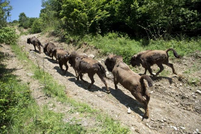 En Roumanie, des bisons d'Europe relâchés dans leur environnement naturel