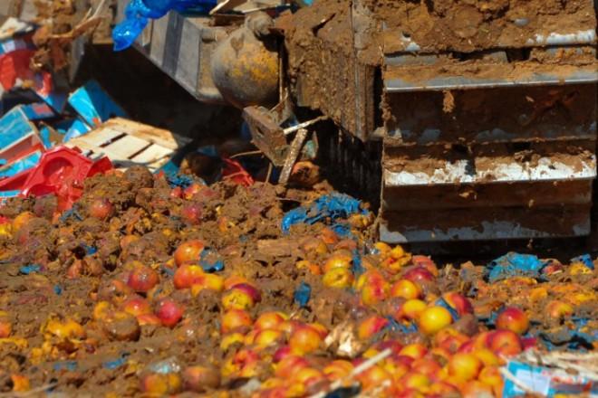 Embargo russe : près de 220 tonnes de fruits détruits