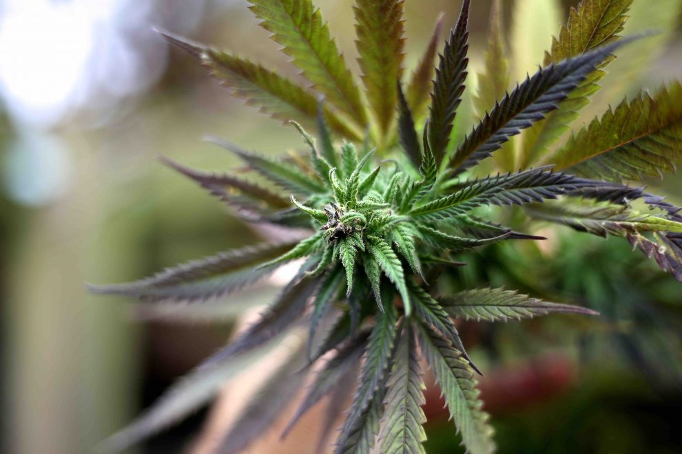 Danes to legalise medical cannabis