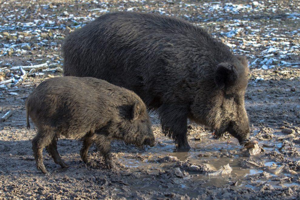 Peste porcine : la Pologne bâtit un mur de 1 200 kilomètres