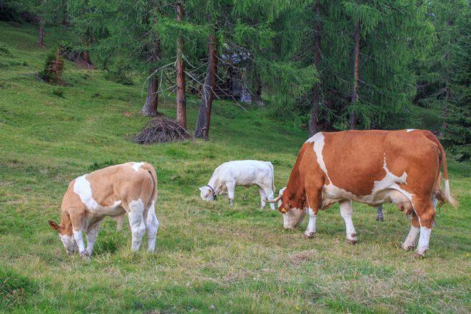 L'Europe malade de sa viande bovine polonaise